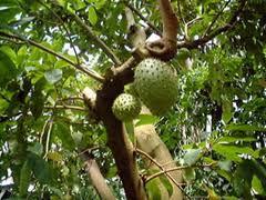 Дървото Гарвиола е наречено убиец на рака, полезно за лечение и на други болести.