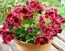 Мушкато е едно полезно растение за дома.
