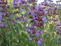 Салвията е една билка с доказани лечебни качества.