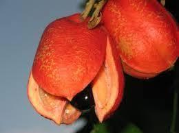 Неузрелият плод Аки съдържа отрова, която може да доведе и до смърт.