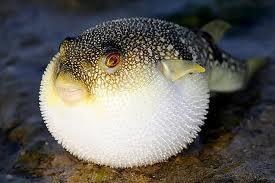 Рибата фугу е сред най-опасните за живота храни.