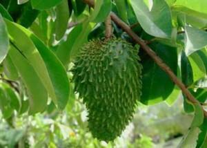Чудодеен екстракт от тропическо дърво е 10 000 пъти по-силен убиец на рака от химиотерапията.