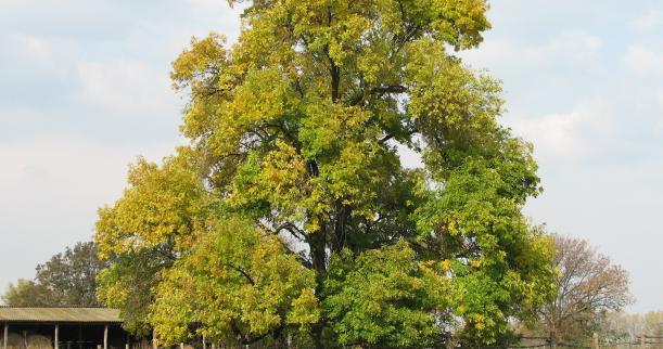 Американският черен орех е известно дърво високо оценено за лечение и храна