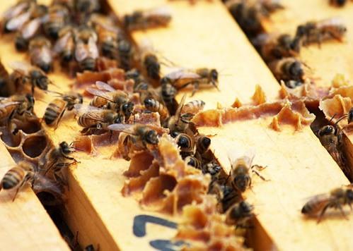 Прополисът от пчелните кошери в Родопите лекува рак