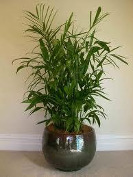 Bamboo Palm (Chamaedorea Seifrizii)