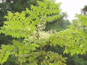 Богатото на адаптогени растение аралия помага за възстановяване на силите на болни хора, спортисти при отпадналост и депресия