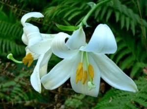 При рани от изгаряния ще ви помогне растението бял крем