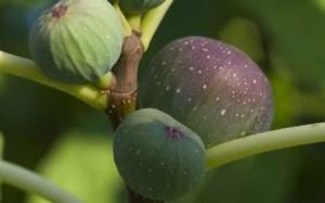 Смокините и другите плодове са полезни за дълголетието и за нашите гени