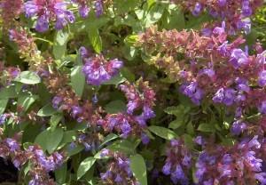 Градинският чай (салвия) е една невероятна билка полезна за изграждането на костите