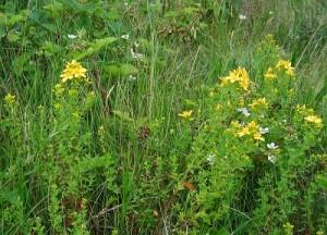 Някои билки за гастрит са полезни при язви и за други болести на храносмилателната система