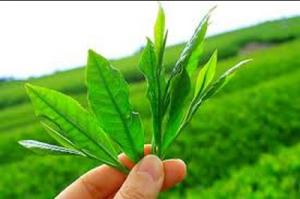 Зелен чай при превенция на рак
