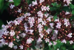 Риганът е сред първите най-полезни билки за имунитет