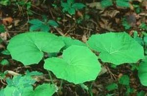 Билката подбел е известна отдавна със своите лечебни свойства
