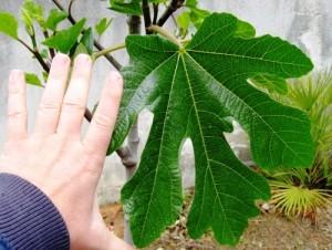 листа от смокиня