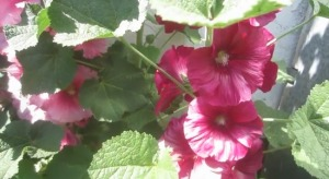 Билката градинска ружа е една от полезните при болки в корема