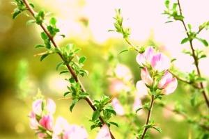 Чай от гръмотрън помага за отслабване, безплодие и други болежки