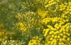Билка жълт смил може да се ползва за лечение на много болести