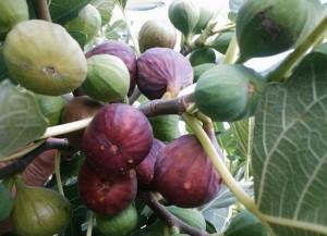 За лечение на бели петна по кожата, яжте смокини