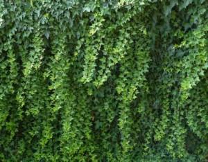 Ползите от билката бръшлян – при кашлица и болести на черния дроб