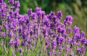 Билката лавандула е ароматна и добре известна на ароматотерапевтите