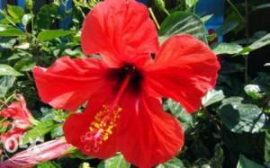 Красивата китайска роза или розата на Шарън е родом от Азия