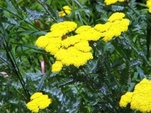 Лечение на маясъл с билки – жълт равнец се използва в отвара от маясъл