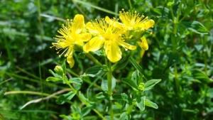 Жълтият кантарион е най-препоръчваната билка за паническо разстройство и като антидепресант