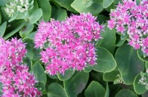 Красивото цвете дебела мара е полезно за лечение на язви, рани, циреи, помага дори при по-лек рак на кожата