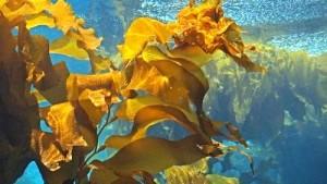Кафявите водорасли focus или известни още като келп са полезни за отслабване и за други здравословни проблеми