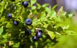 листа от черна боровинка