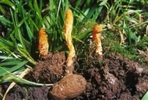 Гъба кордицепс срещу рак на дебелото черво