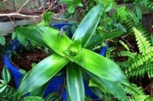 Ароматната кализия (callisia fragrans) е уникална билка, която намира приложение в медицината за много болести.