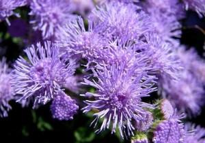 Агератум Хоустона (Ageratum houstonianum) – цветовете на това растение помагат за лечение на обмена на хормоните при жените. Те съдържат хормони от растителен произход.
