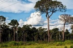 Дървото на уникалния бразилски орех се нарича Бертолетия и достига до 50-60метра височина