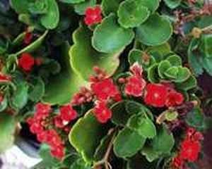Красивото цвете каланхое е същинско природно чудо