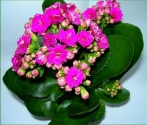Лековитото каланхое е вълшебно цвете, което може да лекува много болести