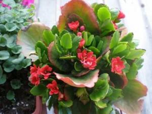 Цветето каланхое си е заслужило имената дадени му в миналото от древните лечители – цвете на живота, домашен доктор, стаен женшен и дори хирургът без нож