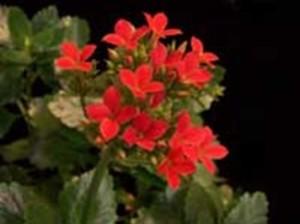 Каланхое блосфелдиана – Kalanchoe Blossfeldiana