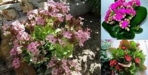 Красивото цвете каланхое – отличен домашен доктор и съперник на Алое Вера, неизвестни рецепти