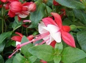 Чай от обичка (Fuchsia Hybrida) помага за бързо забременяване