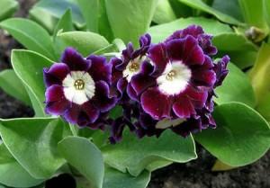Примула ушкова (Primula denticulata), цвете с лилави, бели, пурпурни и светло прупурни цветове.