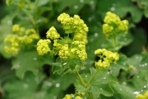 Билка цариче (Alchemilla vulgaris) се използва при лечение на диабет с лук, орехови листа в алкохолна или водна тинктура