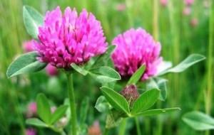 Червена детелина - Trifolium pretense
