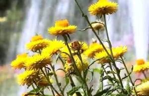 Безсмъртниче (Helichrysum arenarium) при диабет в рецепта с други билки