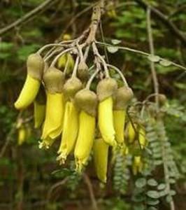 Японска акация (Styphnolóbium japónicum) срещу холестерол