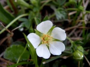 Бял очеболец - Potentilla Аlba L.