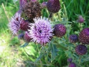Билка паламида (Cirsium arvense) – използва се и при рак на стомаха