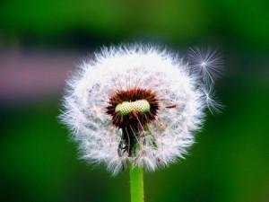 Глухарчето (Taraxacum Officinalis) се използва за терапия на голям брой заболявания.