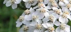 Бял равнец – една от предпочитаните билки за отслабване.