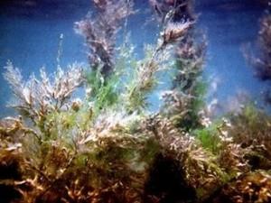 Брадата цистозира - Cystoseira barbata – използва се и за отслабване.